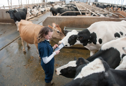 veterinarian checking cattle in a large pen